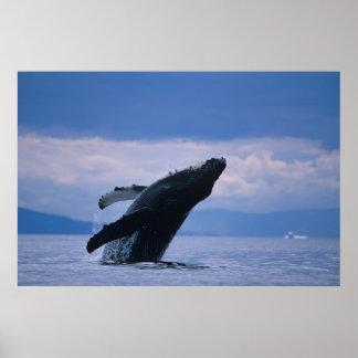 米国、アラスカのTongassの国有林、Humpback ポスター