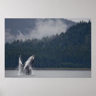 米国、アラスカのTongassの国有林、Humpback 3 ポスター