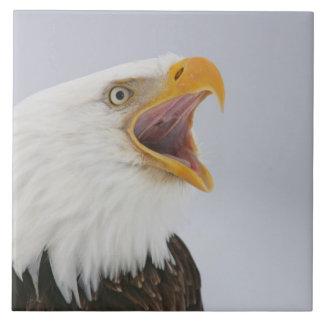 米国、アラスカ、ホーマー。 叫んでいる白頭鷲。 信用 タイル