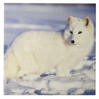 米国、アラスカ。 冬のコートのホッキョクギツネ。 信用 正方形タイル大