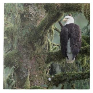 米国、アラスカ、南東のアラスカの白頭鷲 タイル