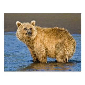 米国. アラスカ。 沿岸ヒグマの魚釣りのための ポストカード