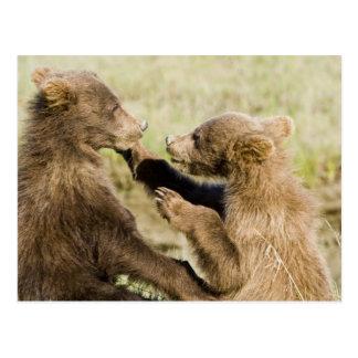 米国. アラスカ。 銀の沿岸ヒグマの幼いこども ポストカード