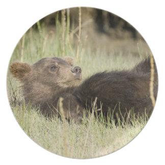 米国. アラスカ。 銀2の沿岸ヒグマの幼いこども プレート