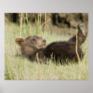 米国. アラスカ。 銀2の沿岸ヒグマの幼いこども ポスター