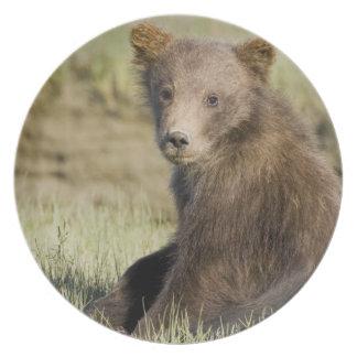 米国. アラスカ。 銀3の沿岸ヒグマの幼いこども プレート