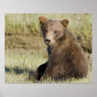 米国. アラスカ。 銀3の沿岸ヒグマの幼いこども ポスター