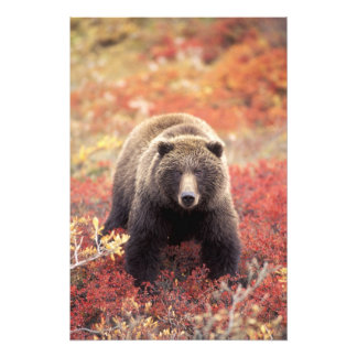 米国、アラスカ、Denali NPの女性の灰色グマ アートフォト