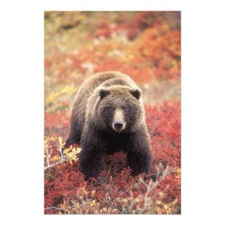 米国、アラスカ、Denali NPの女性の灰色グマ アート写真
