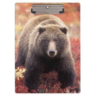 米国、アラスカ、Denali NPの女性の灰色グマ クリップボード