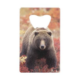 米国、アラスカ、Denali NPの女性の灰色グマ クレジットカード ボトルオープナー