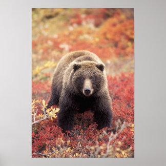 米国、アラスカ、Denali NPの女性の灰色グマ ポスター