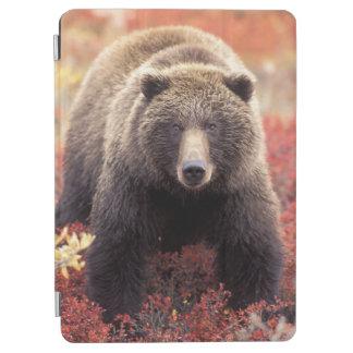 米国、アラスカ、Denali NPの女性の灰色グマ iPad Air カバー