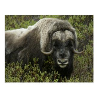 米国、アラスカ、Nome。 ジャコウウシのクローズアップ ポストカード