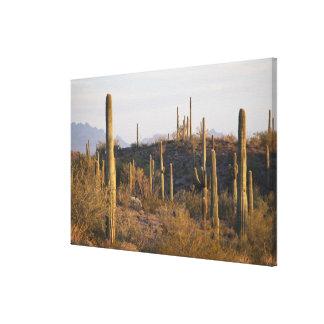 米国、アリゾナのSonoranの砂漠、Ajo、Ajo 2 キャンバスプリント