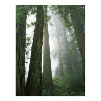 米国、カリフォルニアのレッドウッドの国立公園、 ポストカード