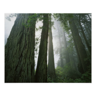 米国、カリフォルニアのレッドウッドの国立公園、2 ポスター