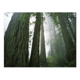 米国、カリフォルニアのレッドウッドの国立公園、2 ポストカード