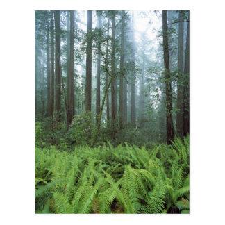 米国、カリフォルニアのレッドウッドNP。 シダ ポストカード