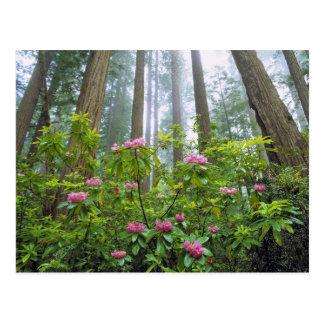 米国、カリフォルニアのレッドウッドNP。 シャクナゲ ポストカード
