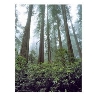 米国、カリフォルニアのレッドウッドNP。 霧はろ過します ポストカード