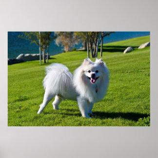 米国、カリフォルニア。 ポメラニア犬の地位 ポスター