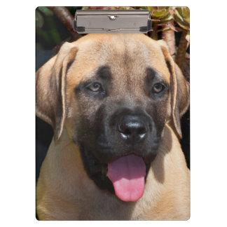 米国、カリフォルニア。 マスティフの子犬のポートレート クリップボード