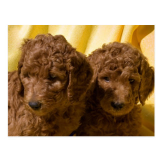 米国、カリフォルニア。 標準プードルの子犬 ポストカード