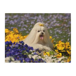 米国、カリフォルニア。 花にあっているマルチーズ ウッドウォールアート