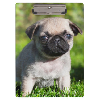 米国、カリフォルニア。 見ているパグの子犬 クリップボード