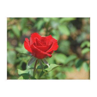 米国、カンザス、赤いバラ キャンバスプリント