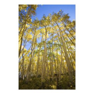米国、コロラド州のに沿う秋の《植物》アスペンは持続します フォトプリント