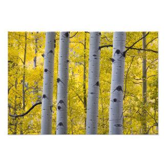 米国、コロラド州のヤンキーの近くの秋の《植物》アスペンの立場 フォトプリント