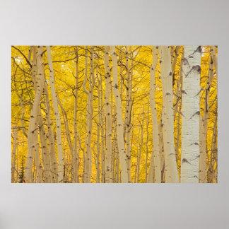 米国、コロラド州。 Gunnisonの国民の《植物》アスペン ポスター