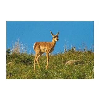 米国、サウスダコタ。 CusterのPronghornの子鹿 キャンバスプリント