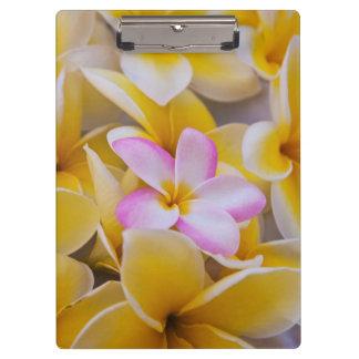 米国、ハワイ、オアフのプルメリアは開花1で開花します クリップボード