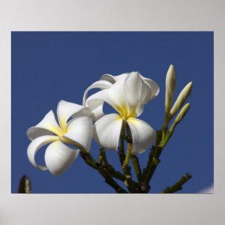 米国、ハワイ、カウアイ島の白いplumeria. ポスター
