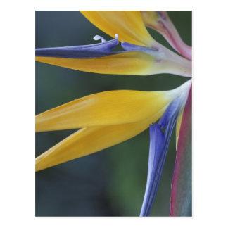 米国、ハワイ、マウイ、ハナの極楽鳥 ポストカード
