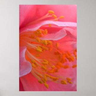 米国、ペンシルバニア。 ツバキの花のクローズアップ ポスター