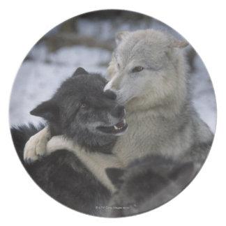米国、モンタナの雪で遊んでいるオオカミ プレート