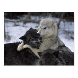 米国、モンタナの雪で遊んでいるオオカミ ポストカード