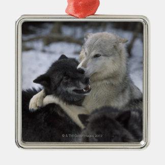 米国、モンタナの雪で遊んでいるオオカミ メタルオーナメント