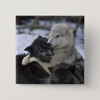 米国、モンタナの雪で遊んでいるオオカミ 5.1CM 正方形バッジ