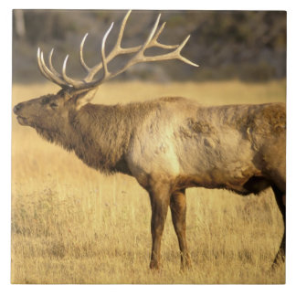 米国、ワイオミングのイエローストーン国立公園。 Bull タイル