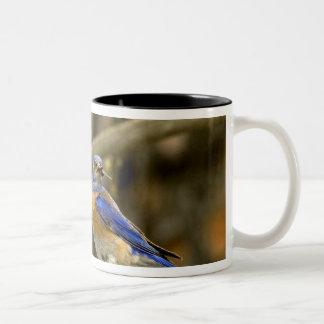 米国、ワシントン州、Yakima。 オスの西部のブルーバード ツートーンマグカップ