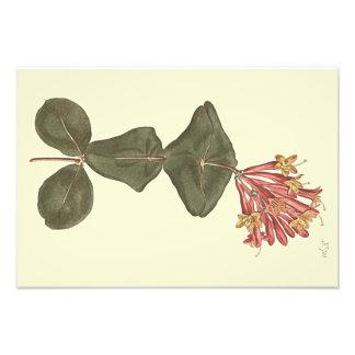 素晴らしいツキヌキニンドウの植物の絵 フォトプリント