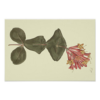 素晴らしいツキヌキニンドウの植物の絵 ポスター