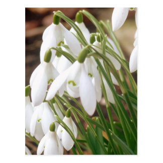素晴らしい春Snowdrops ポストカード