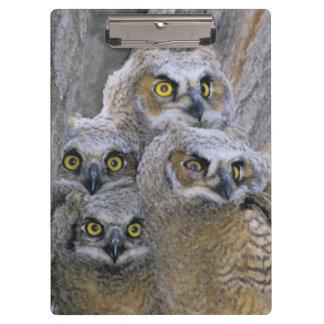 素晴らしい角状のOwlets (Buboのvirginianus)はaで入り込みます クリップボード