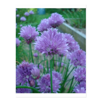 紫色のアサツキの花 ポストカード